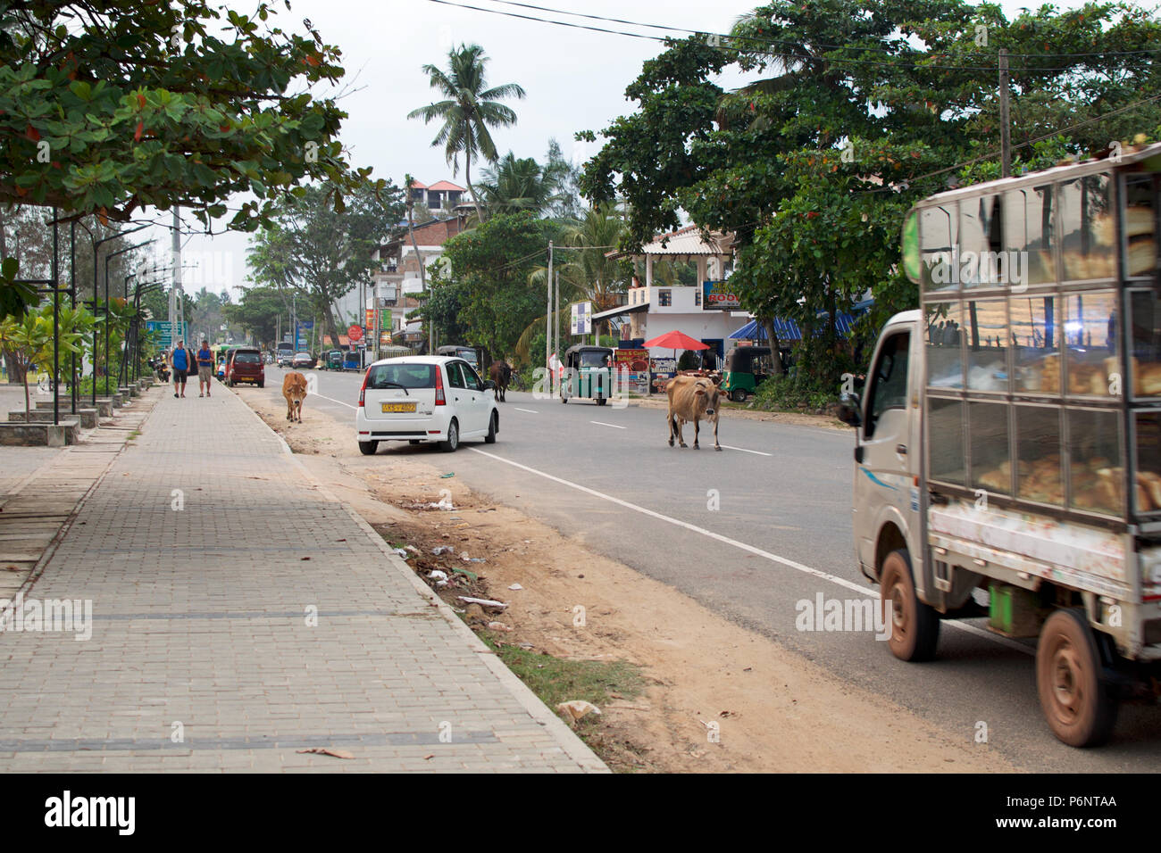 Weligama, Sri Lanka, 2017-12-19: Dangerous situation - cows randomly cross road among traffic cars. Ordinary day in Indian city. Concept of safety. - Stock Image