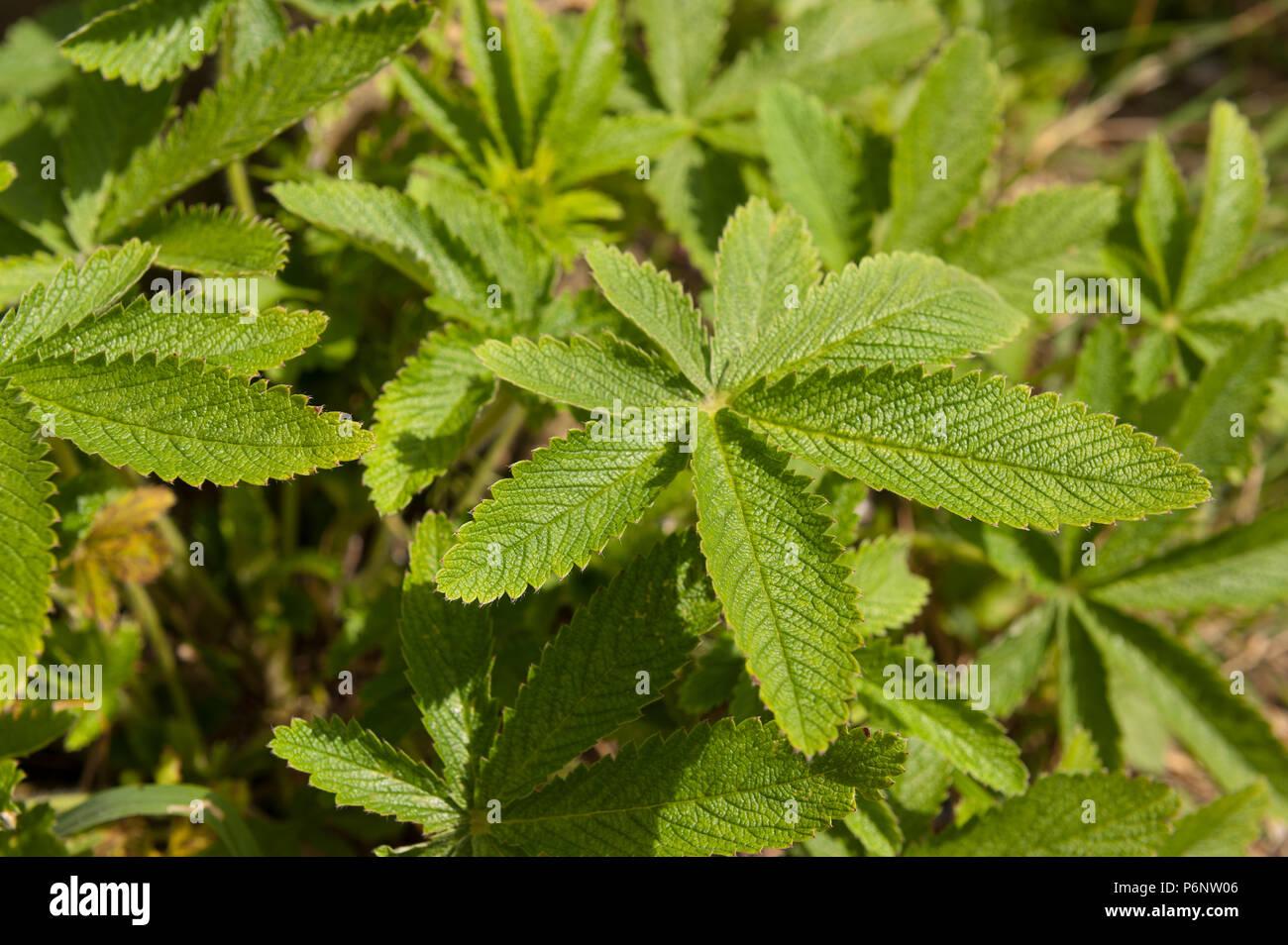 Cannabis Ruderalis Stock Photos & Cannabis Ruderalis Stock