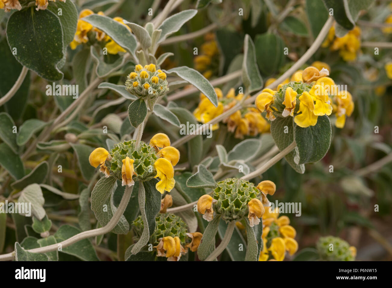 Mediterranean Shrub With Bold Grey Leaves Jerusalem Sagephlomis