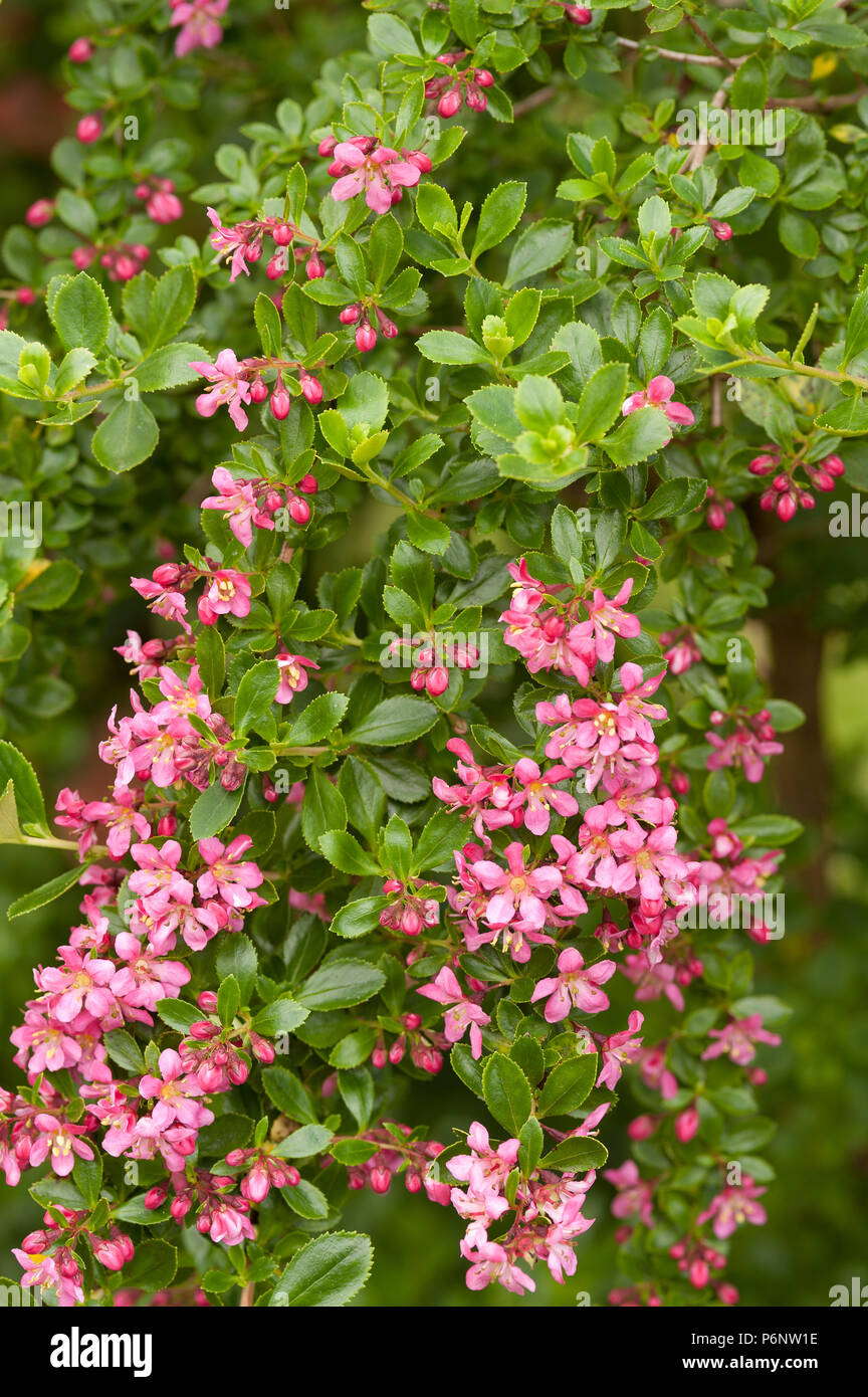 Profuse like apple blossom pink flowers blossom of evergreen shrub profuse like apple blossom pink flowers blossom of evergreen shrub escallonia exoniensis fradesii pink princess escallonia mightylinksfo