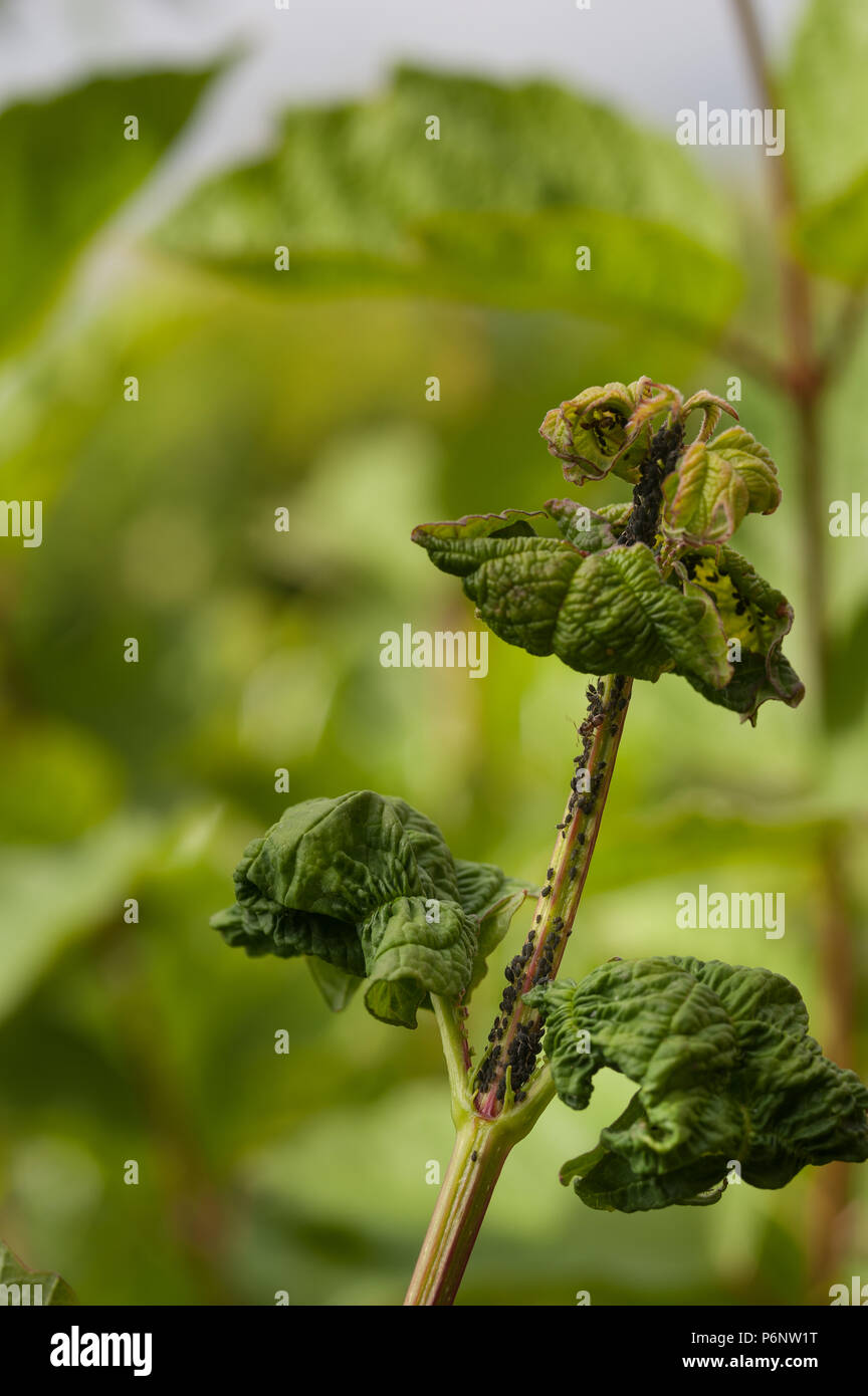 Farming of black apterous aphids by ants for their secretions of honey dew, being cultivated at the growing tips of Viburnum opulus, Guilder rose Stock Photo