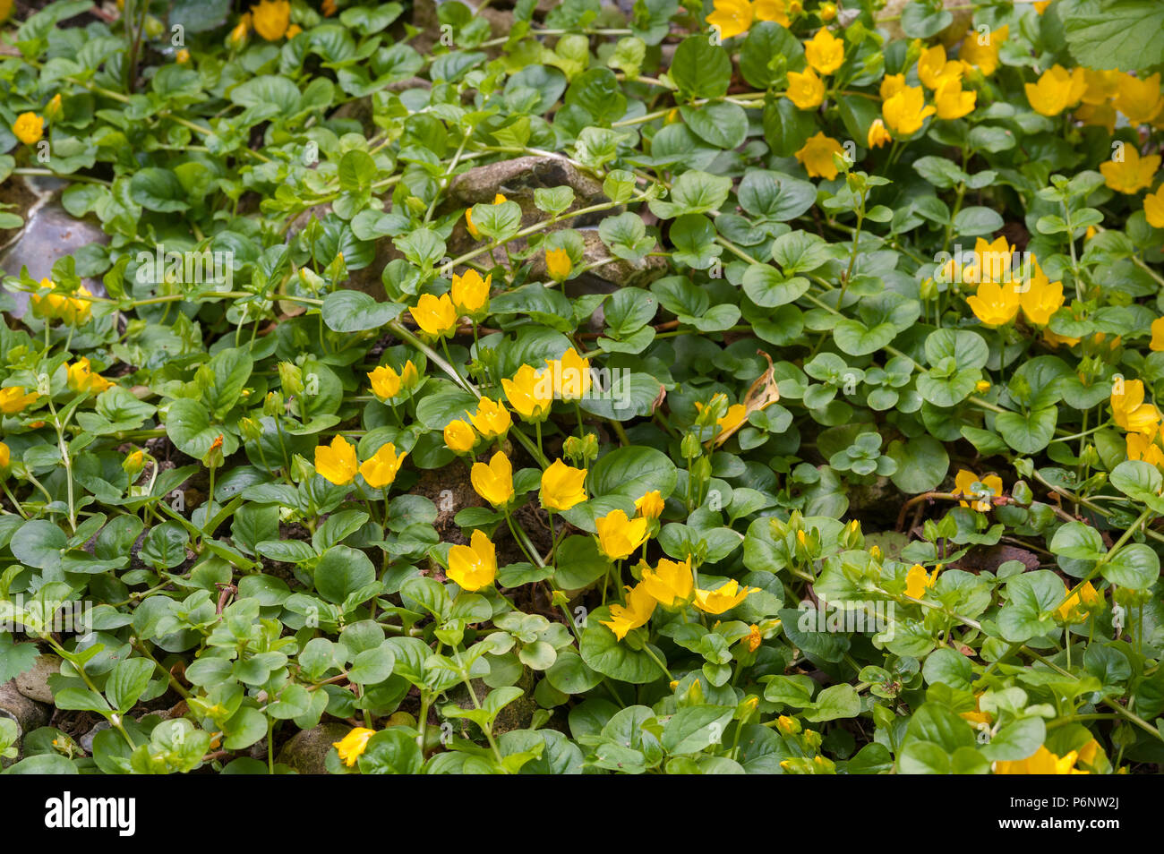 Lysimachia nummularia, creeping jenny, two slightly different variants due to light intensity and soil content, one with dark other with light golden - Stock Image