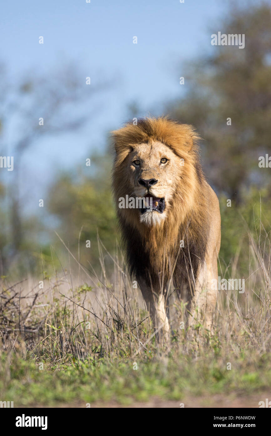 Low-angle head-on view of an adult male lion (Panthera leo) with a big black mane walking - Stock Image