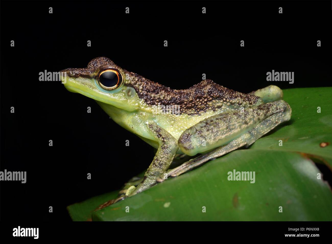 Black-spotted rock skipper Staurois guttatus - Stock Image