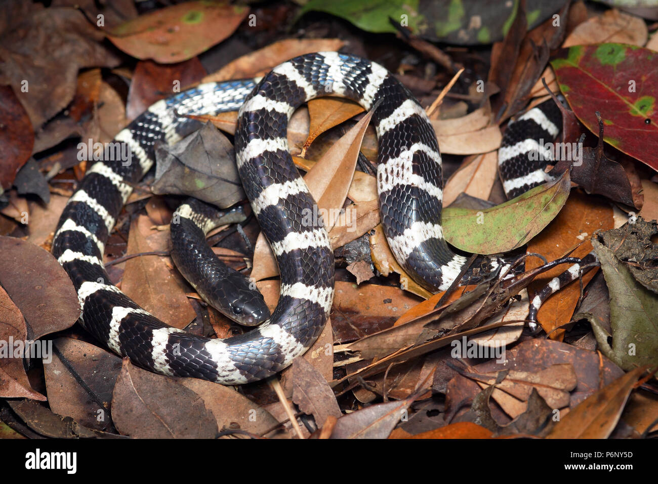 Many banded krait Bungarus multicinctus Stock Photo