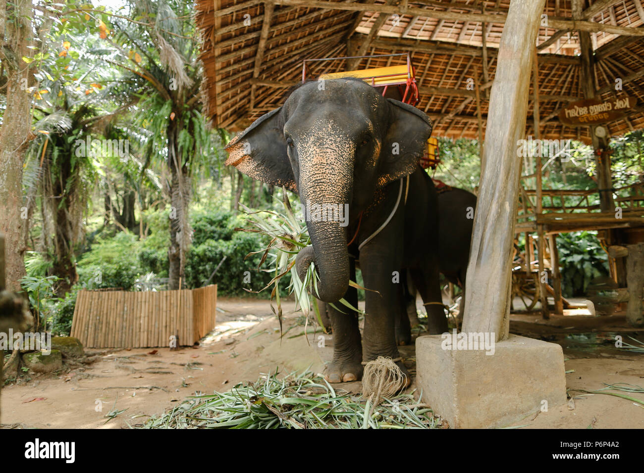 Tamed elephant standing with yellow saddle. - Stock Image