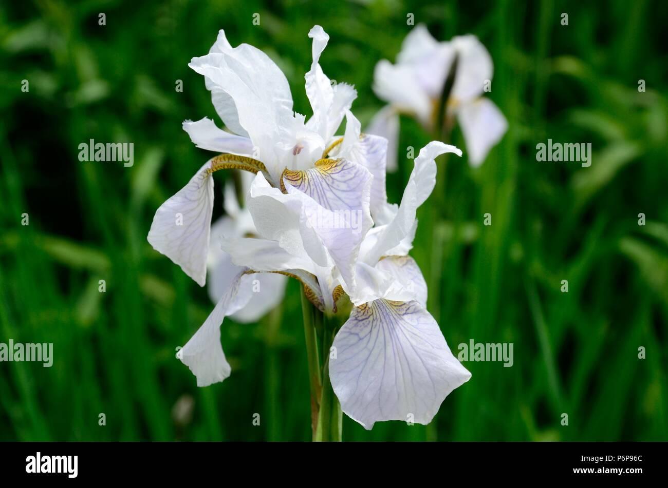 White Siberian Iris Flower Stock Photos White Siberian Iris Flower