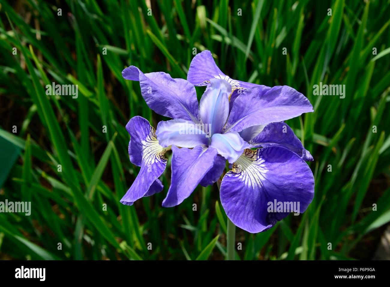 Iris sibirica silver edge flag iris siberian iris flower stock photo iris sibirica silver edge flag iris siberian iris flower izmirmasajfo