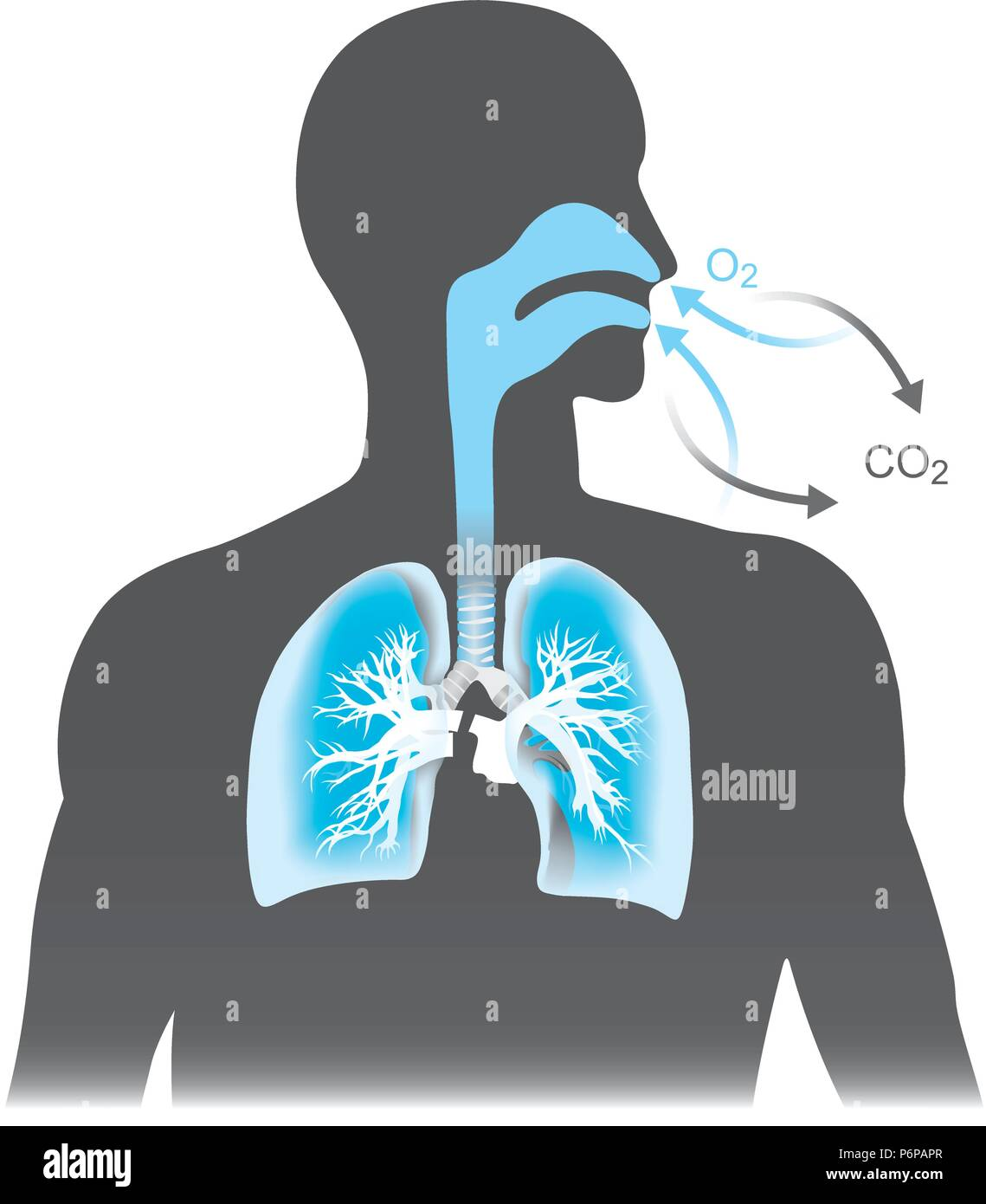 The lungs are the primary organs of respiration in humans. Mono tone black and blue colour. - Stock Image