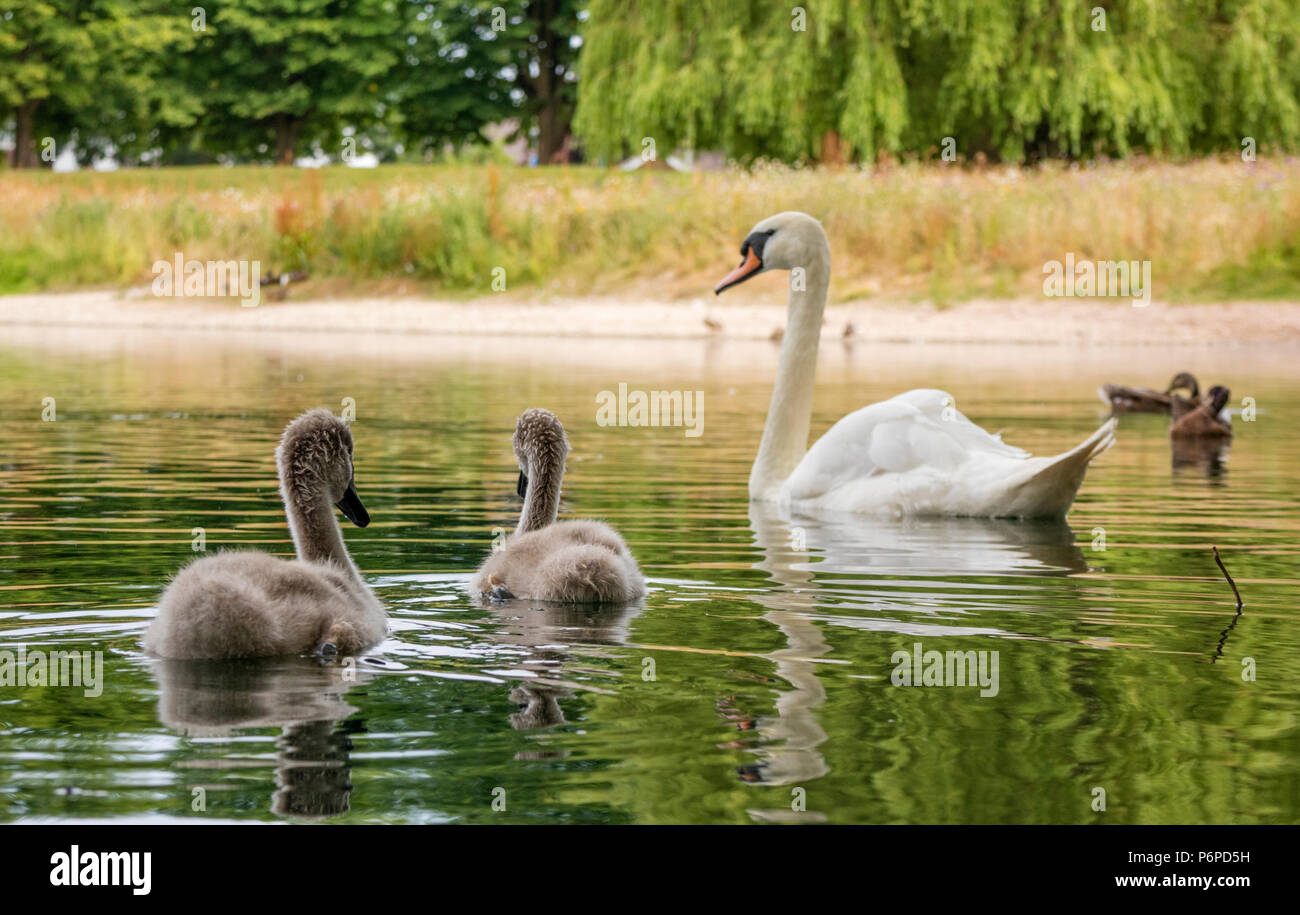 A family of Mute Swans 'Cygnus olor' in a city pool, England, UK - Stock Image