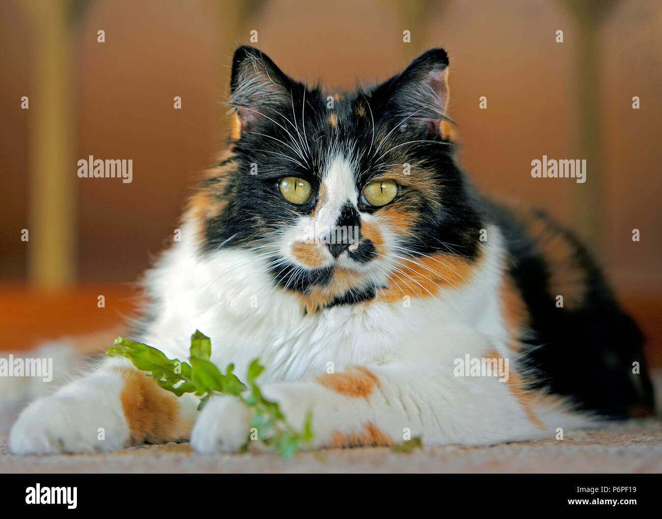 Calico female Cat in house playing with leaf from Houseplant - Stock Image