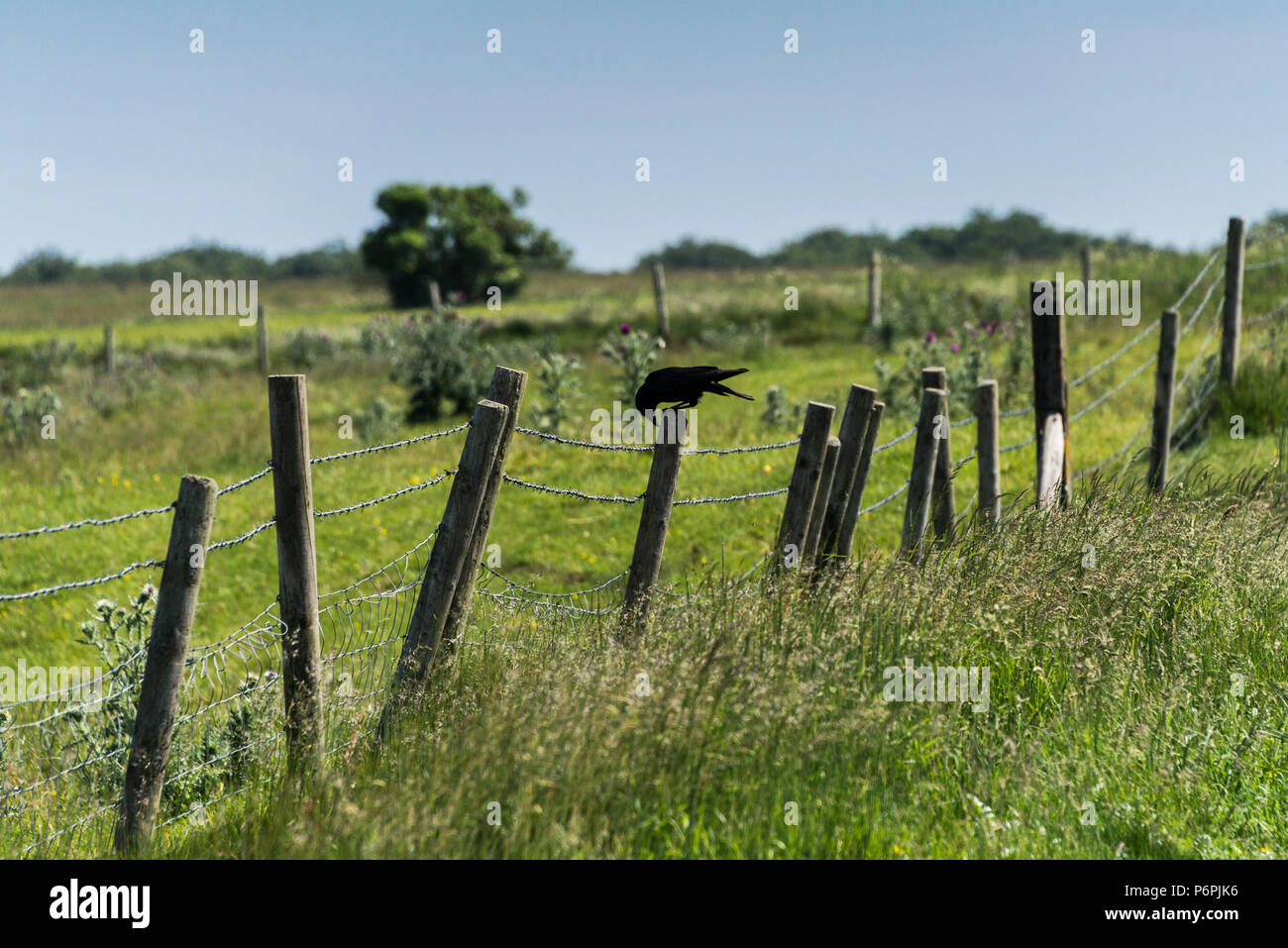 A carrion crow (Corvus corone) perching on a fence post in the Wiltshire Countryside - Stock Image