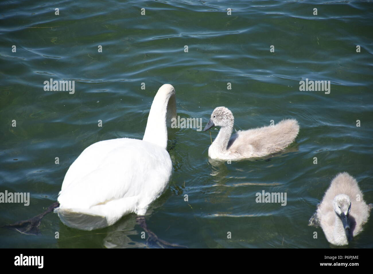 Schwäne und Enten auf dem Chiemsee Stock Photo