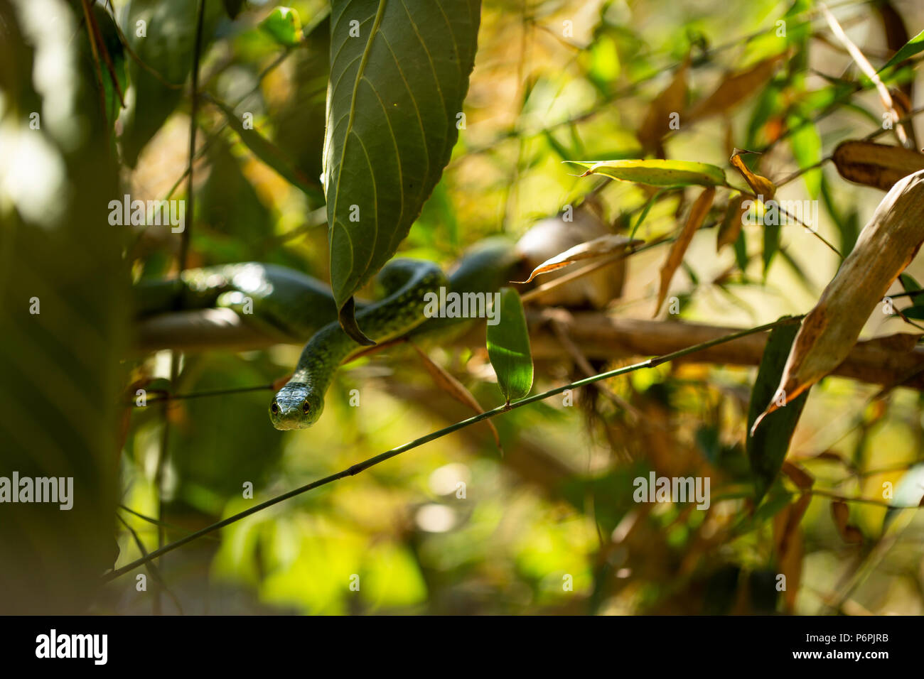 An Angola green snake/ Western Snake waiting on some bamboo for prey. - Stock Image