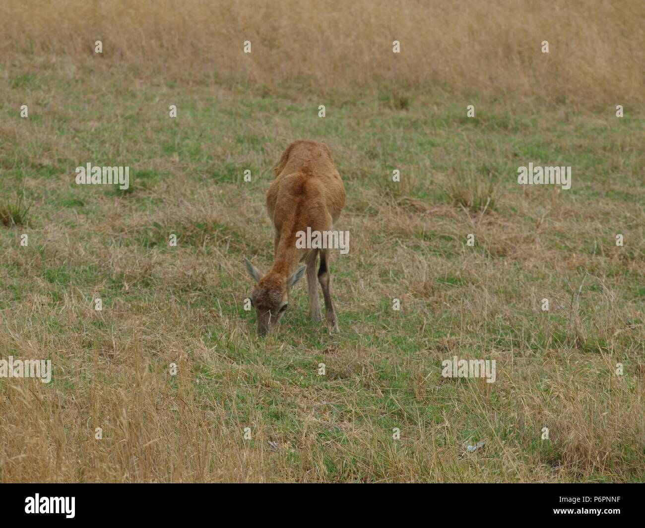12 9 1960 Stock Photos Images Alamy Pulpen Safari 1706 Red Shoulder Hawk And Rocky Mountain Long Horn Sheep Image