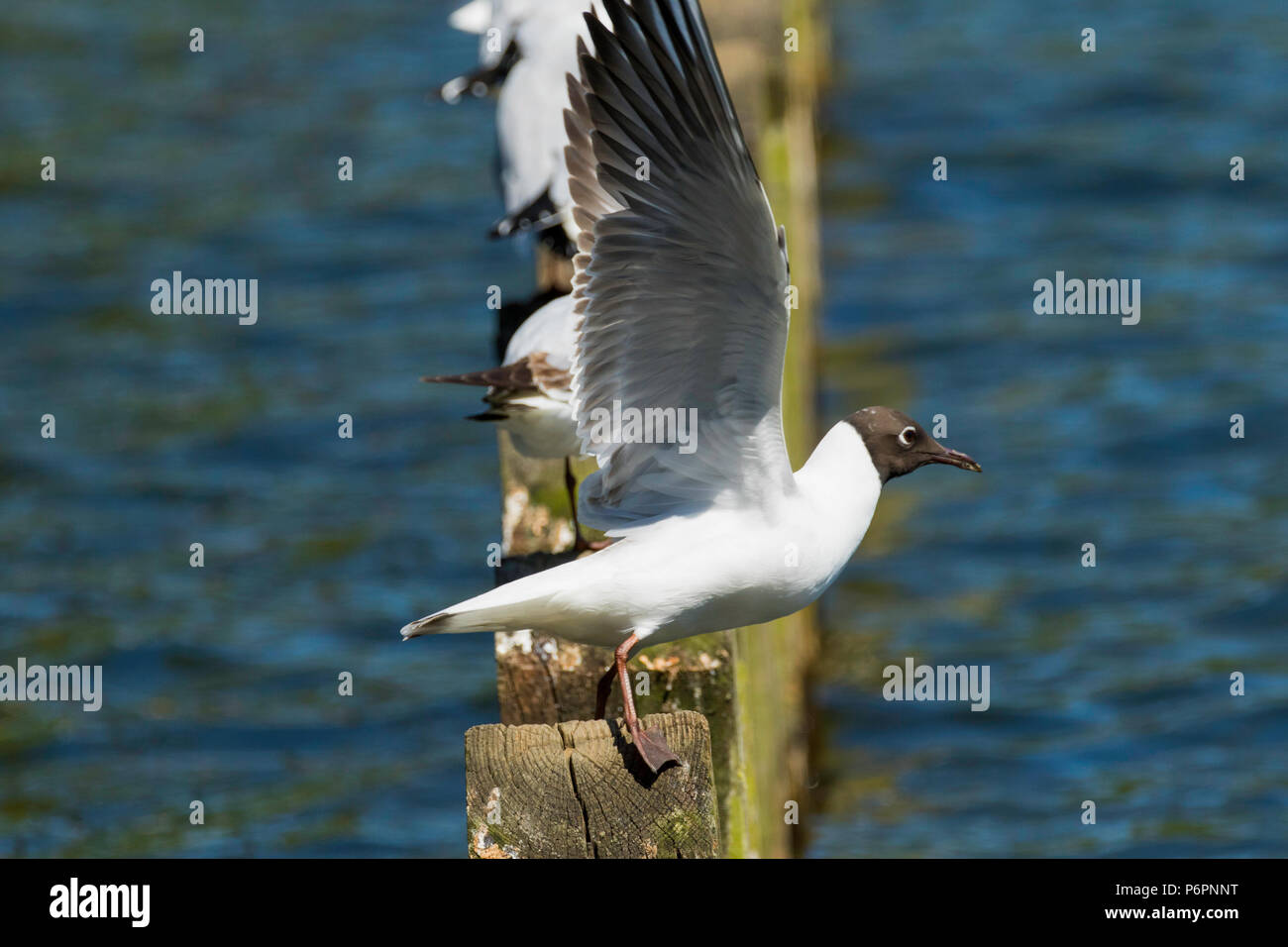 Black-headed Gull about to fly. - Stock Image