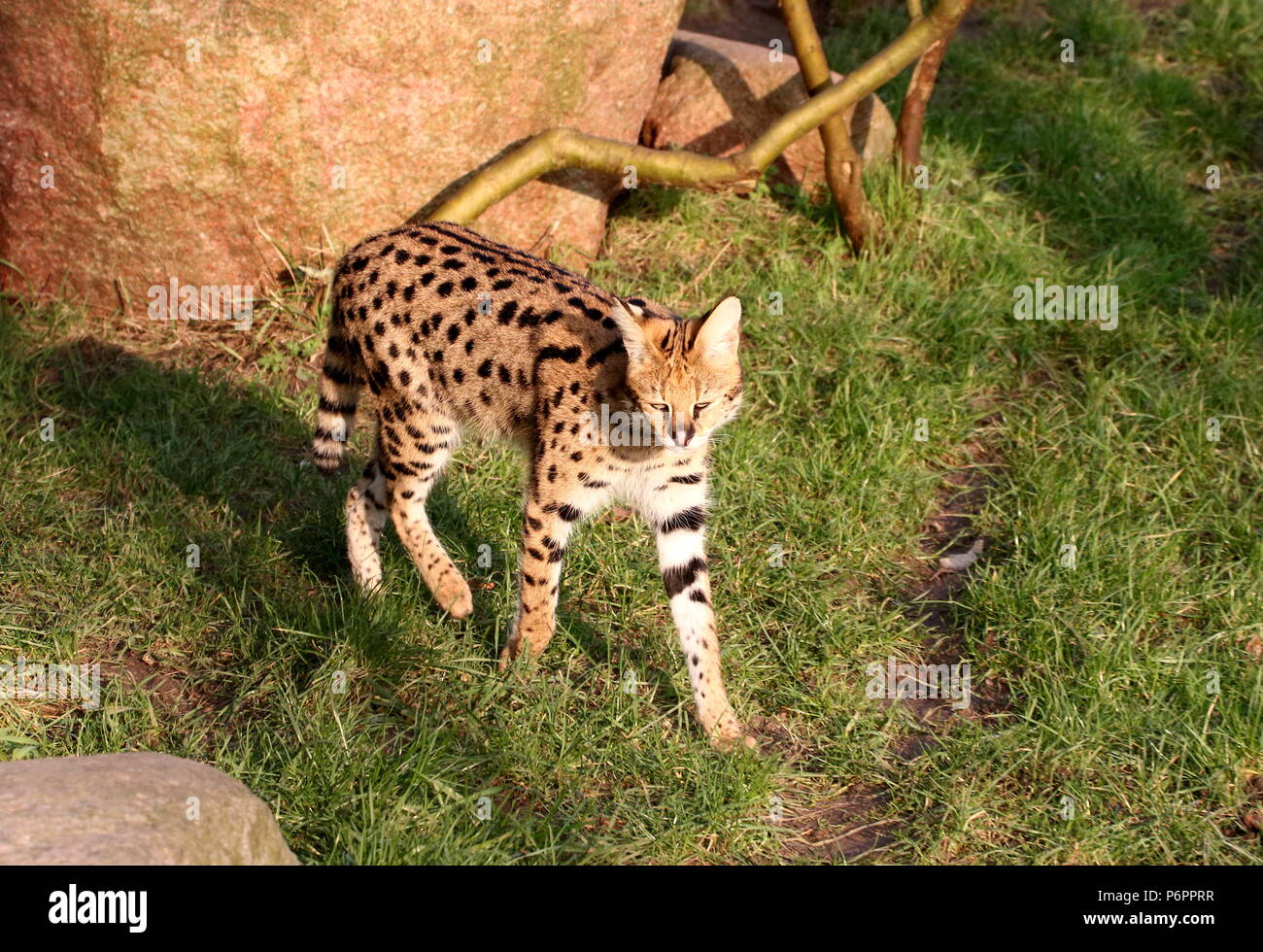 Female African Serval (Leptailurus serval) walking towards the camera Stock Photo