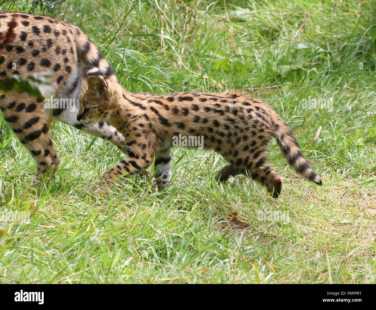 African Serval (Leptailurus serval) cub, walking with his mother Stock Photo