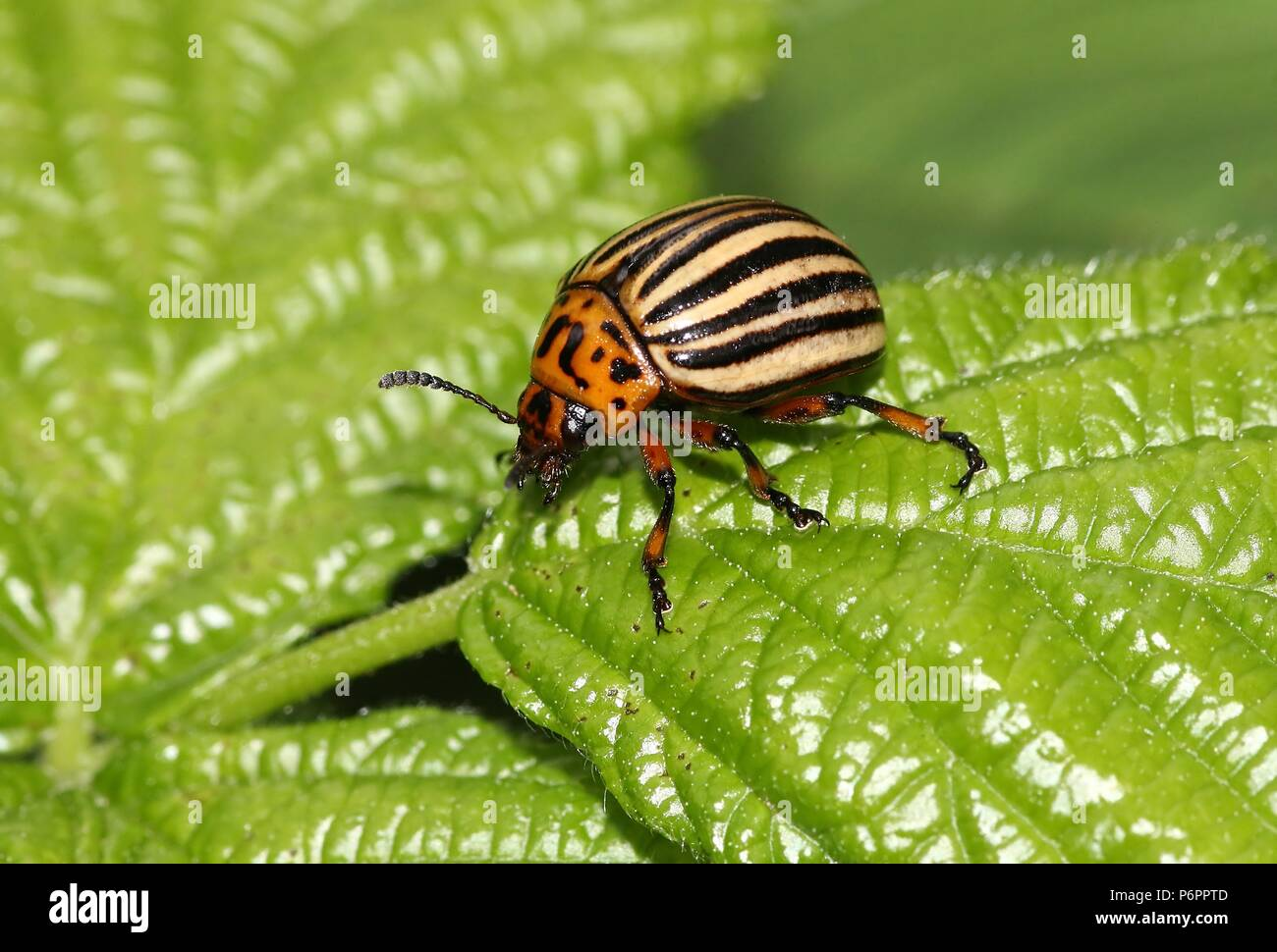 Colorado potato beetle (Leptinotarsa decemlineata) a harmful invasive species in Europe - Stock Image