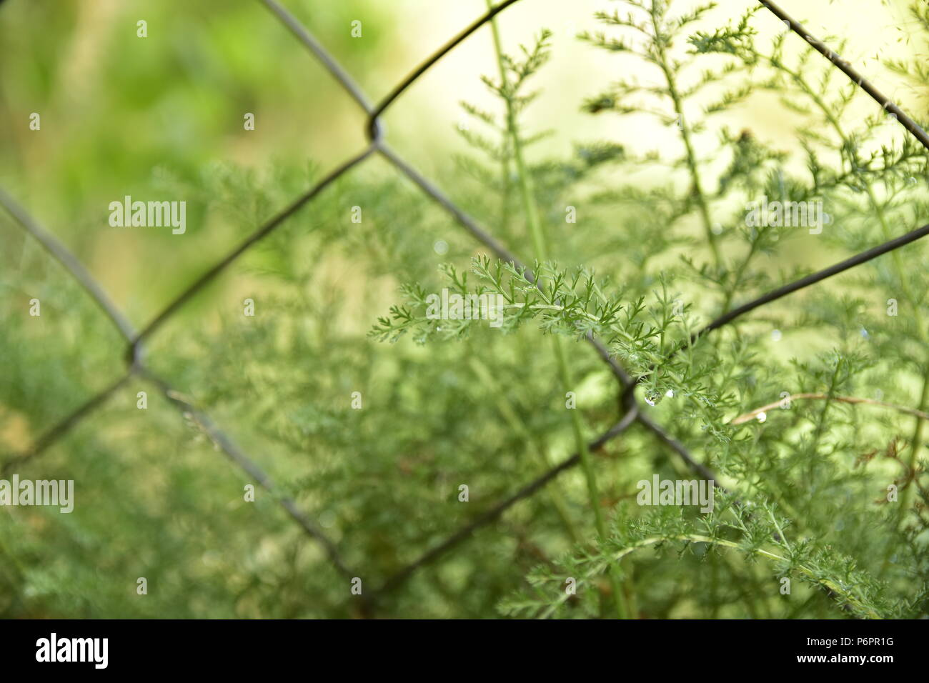 Wild plants and grass behind a wire mesh fence in the forest in Bariloche, Argentina. - Stock Image