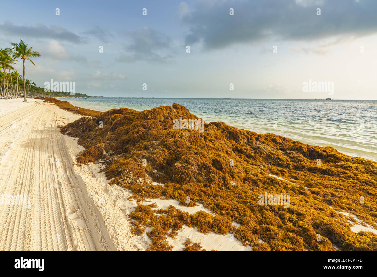 Sargassum Algae Stock Photos & Sargassum Algae Stock Images - Alamy
