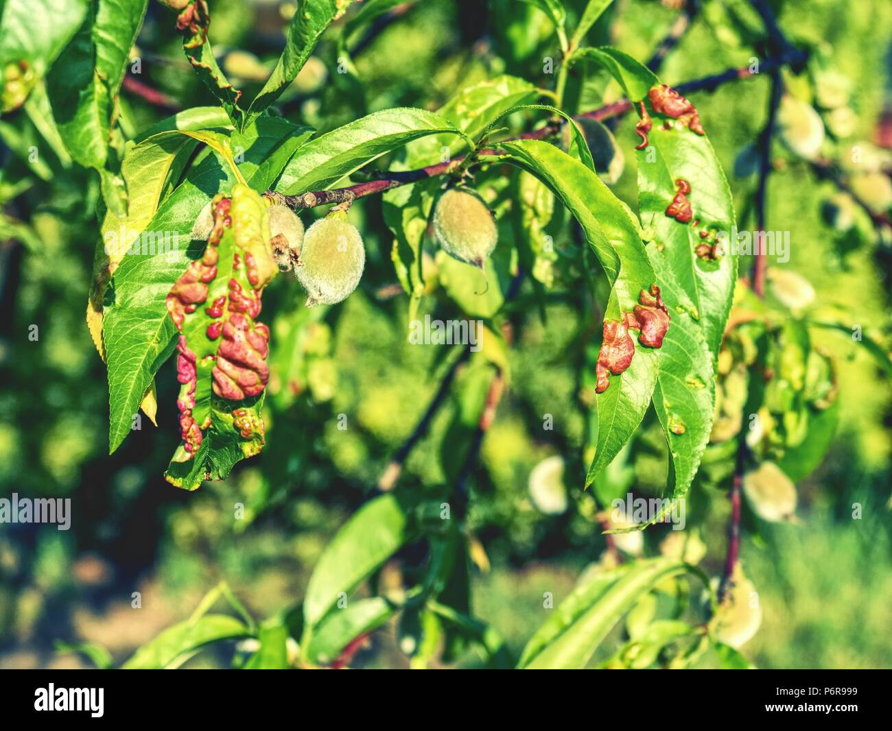 Damaged leaf peach almond Taphrina deformans disease cloque.  Leaf disease outbreak contact the tree leaves. - Stock Image