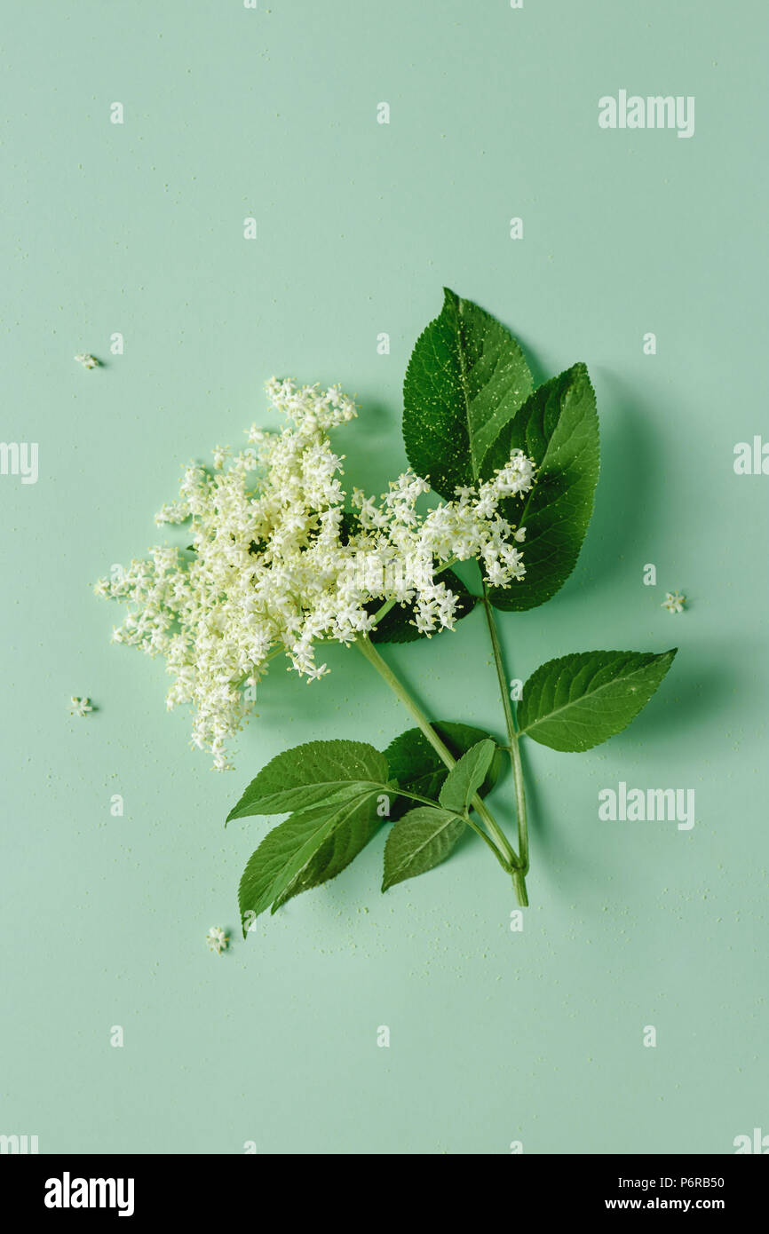 Elderflower blossom flower with leaves on light green background. - Stock Image