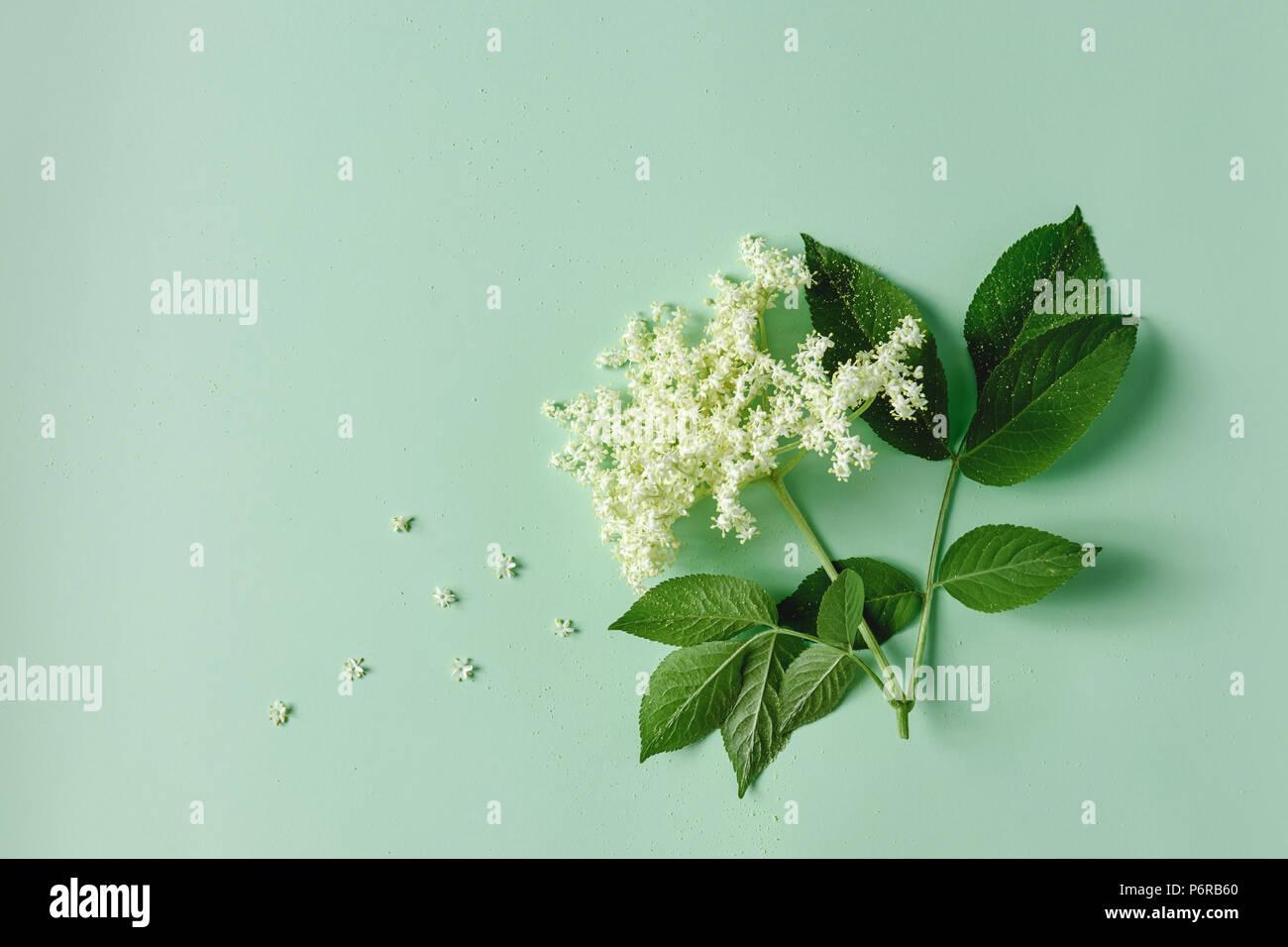 Elderflower blossom flower with leaves on light green background. - Stock Image
