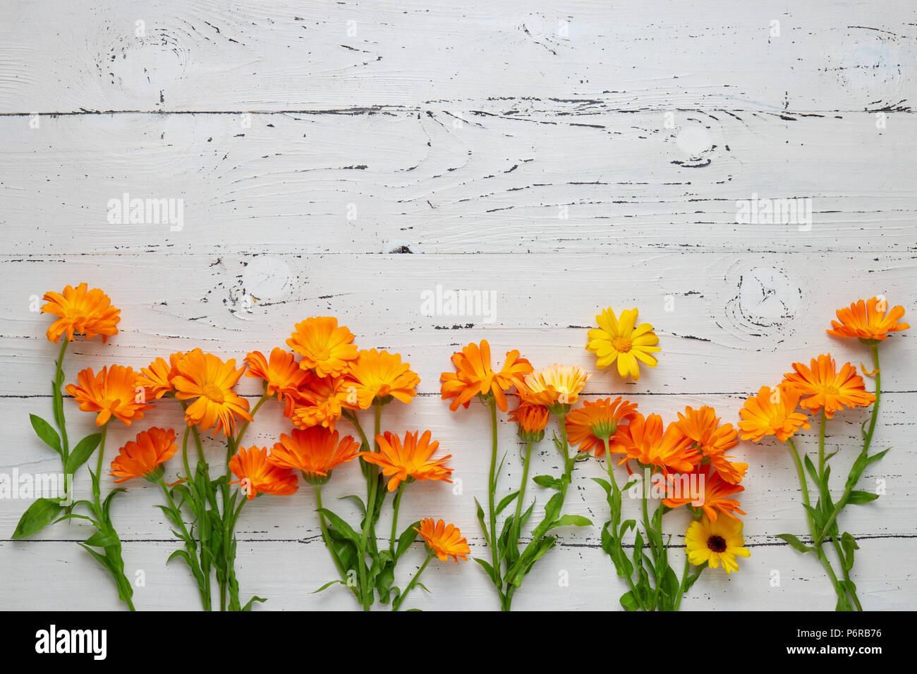 Pot Marigold (Calendula officinalis) on white table - Stock Image