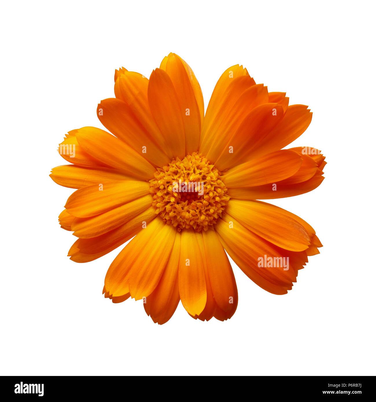 Pot Marigold (Calendula officinalis) on white background - Stock Image