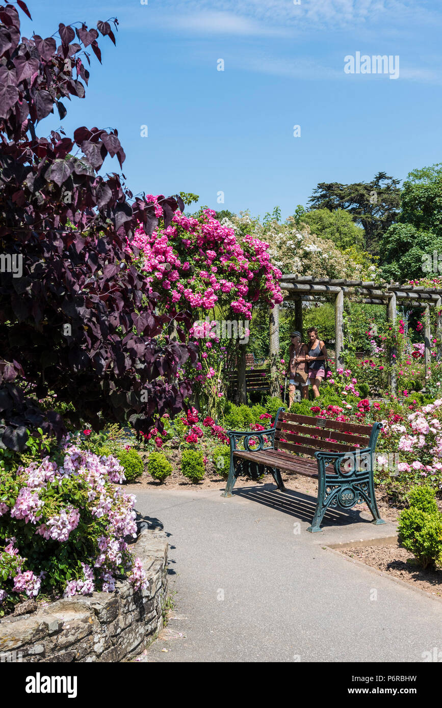 Roses in full bloom in the award winning Rose Garden in Trenance Park in Newquay in Cornwall - Stock Image
