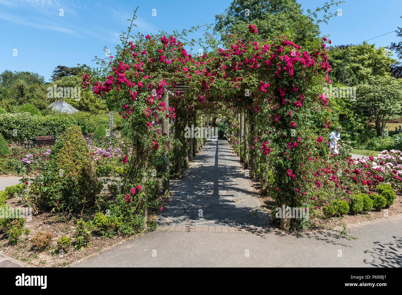 A pergola covered in climbing roses in the award winning Rose Garden in Trenance Park in Newquay in Cornwall - Stock Image