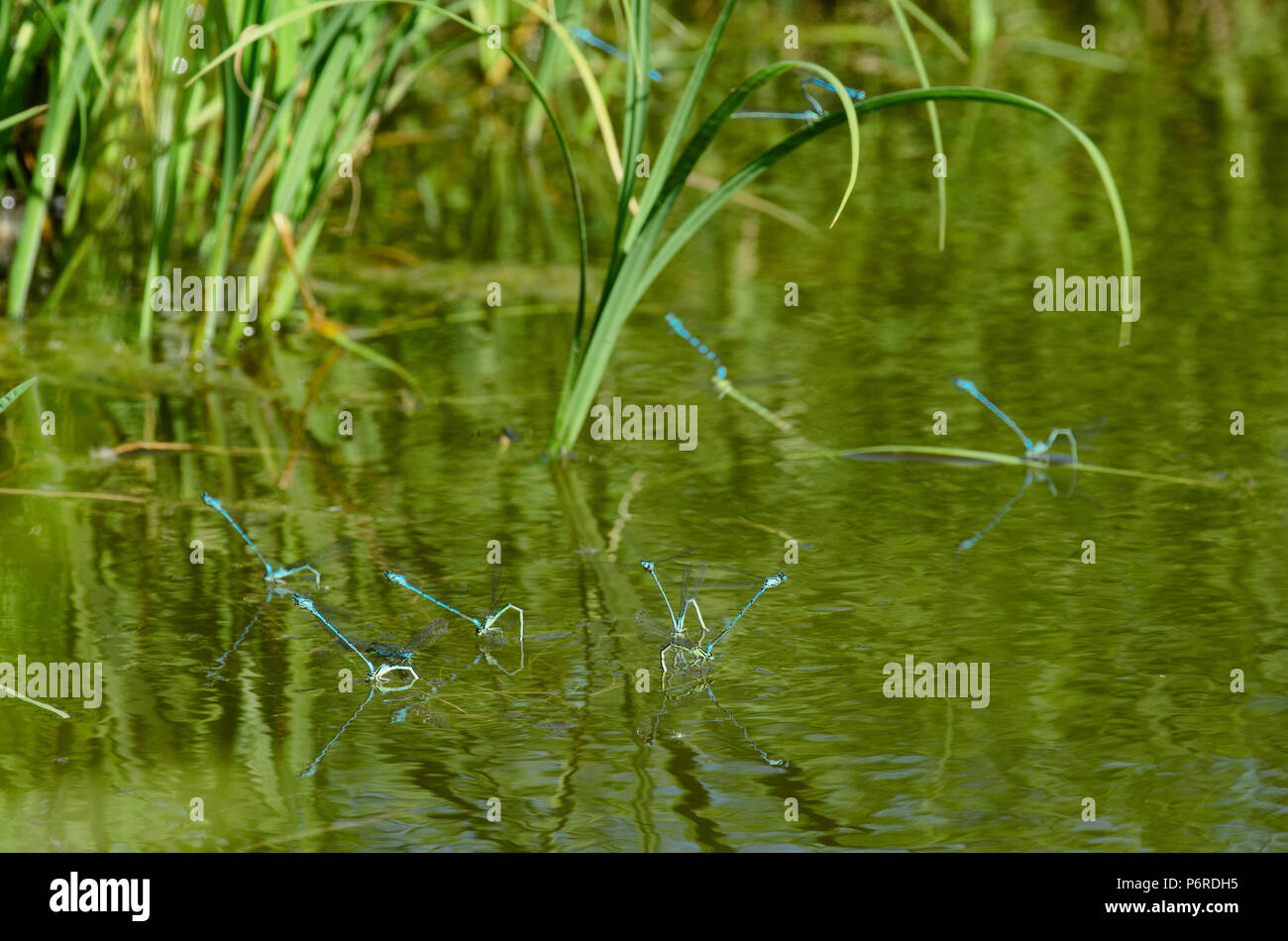 Breeding season of dragonflies species blue damselfly on the surface of the pond with green vegetation - Stock Image