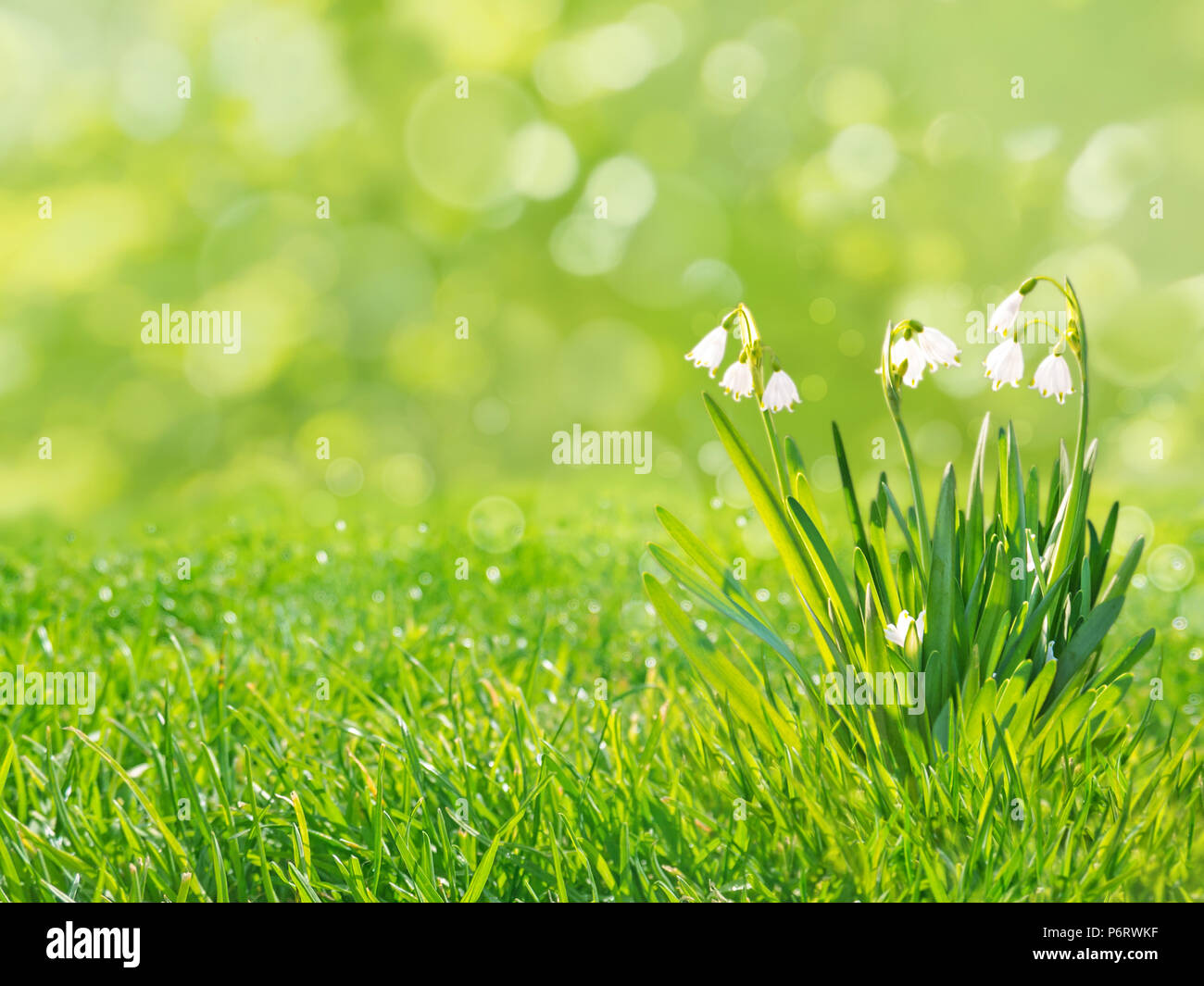 Snowdrops white flowers on the spring blurred grass lawn background snowdrops white flowers on the spring blurred grass lawn background mightylinksfo