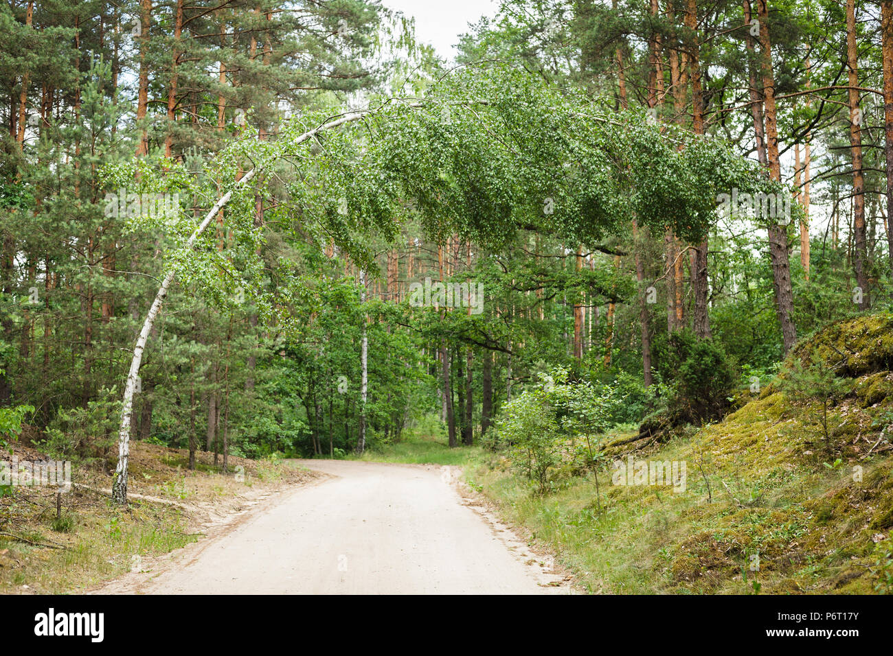 Bent birch-tree over path in the forest - Stock Image