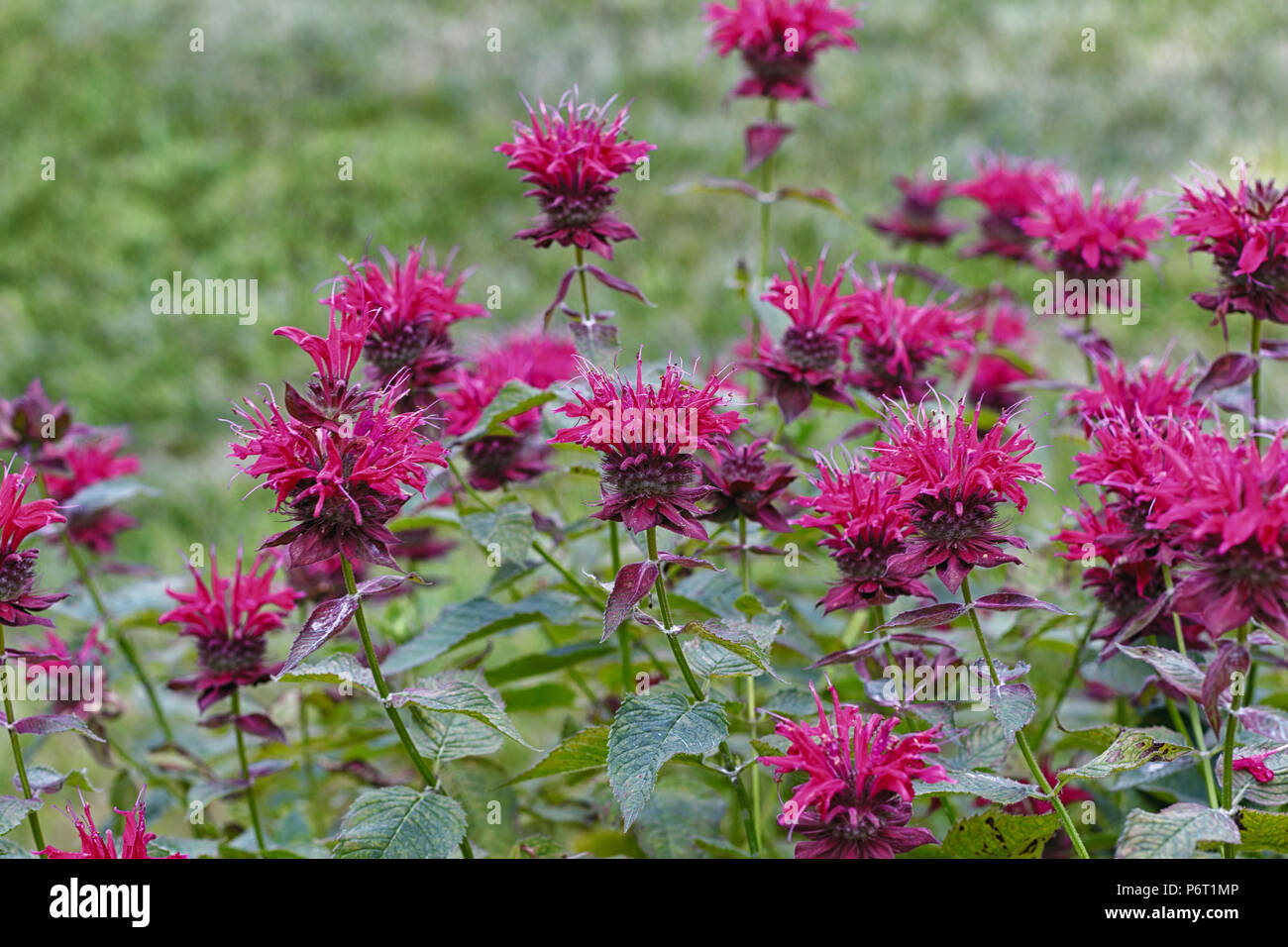 Bee Balm in Bloom. - Stock Image