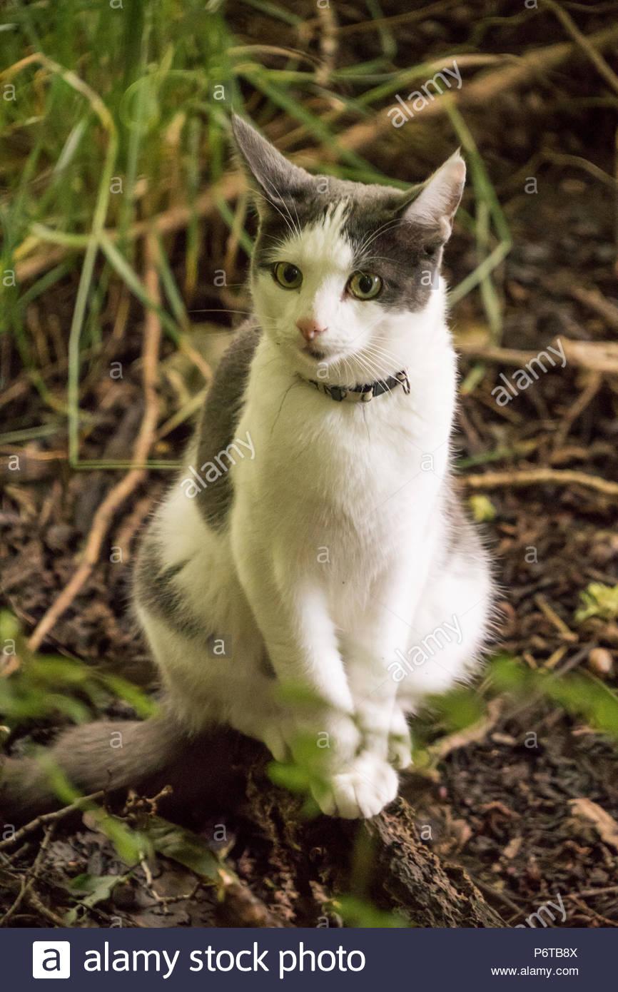 Grau-weiße Katze sitzt im Wald und lauert auf Mäuse. - Stock Image