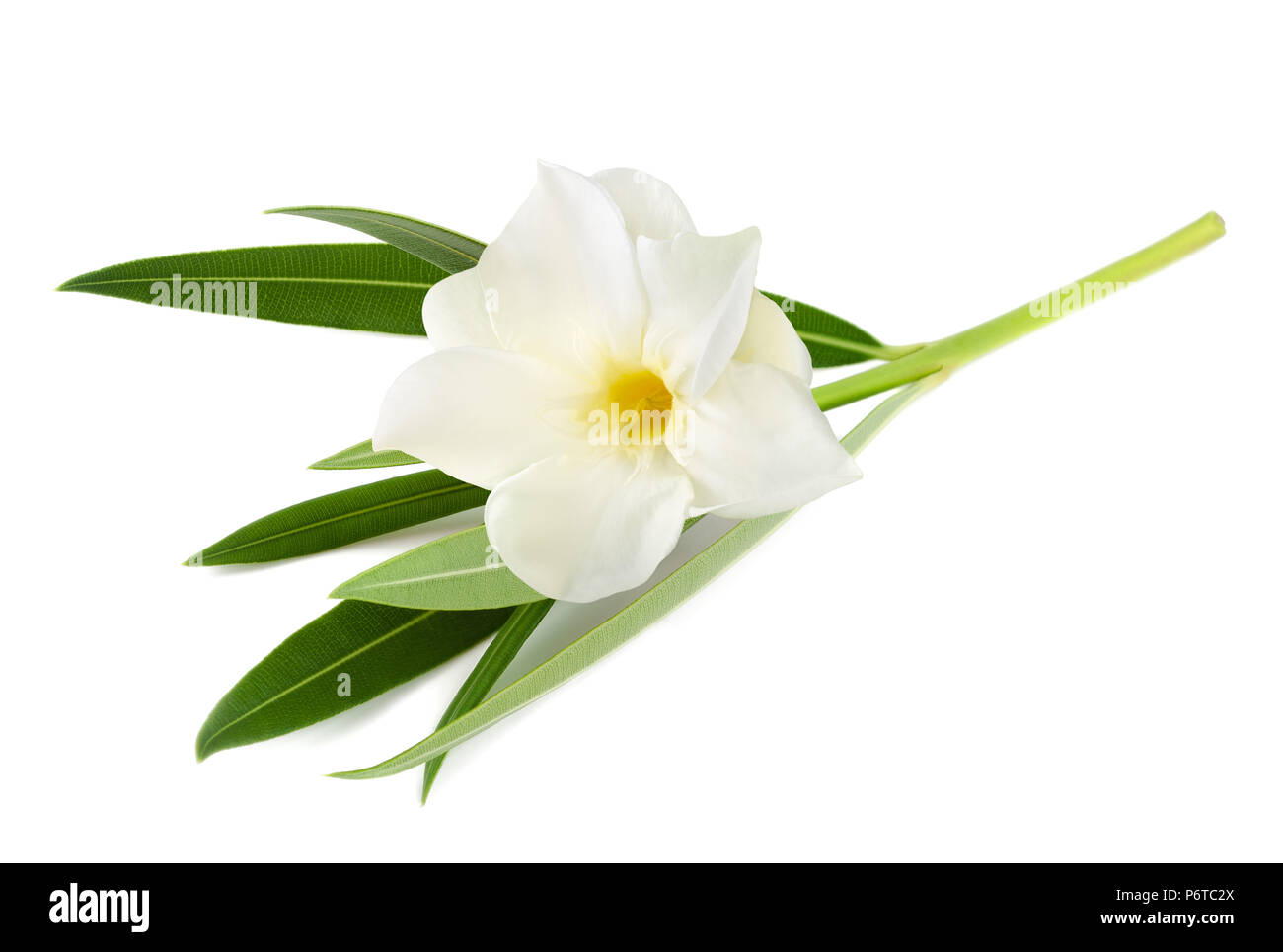White Oleander Flower Isolated On White Background Stock Photo
