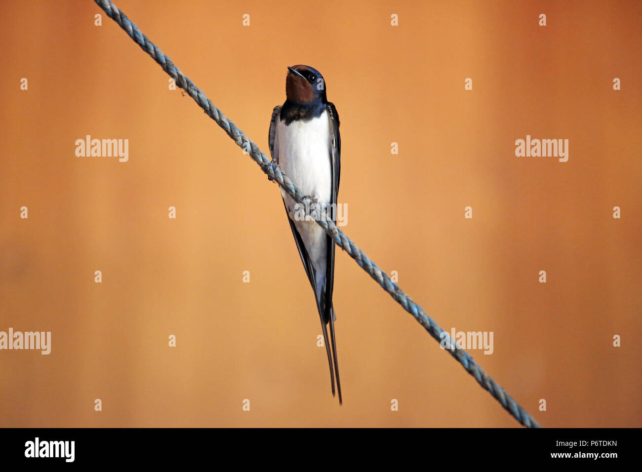 Oberoderwitz, barn swallow sits on a tightrope - Stock Image