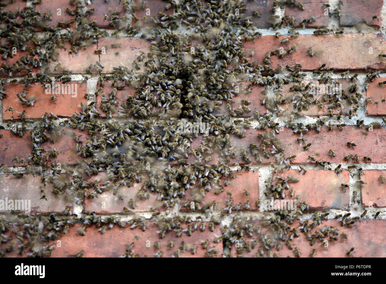 Hoppegarten, Germany, bee colony moves through a hole in a brick wall - Stock Image