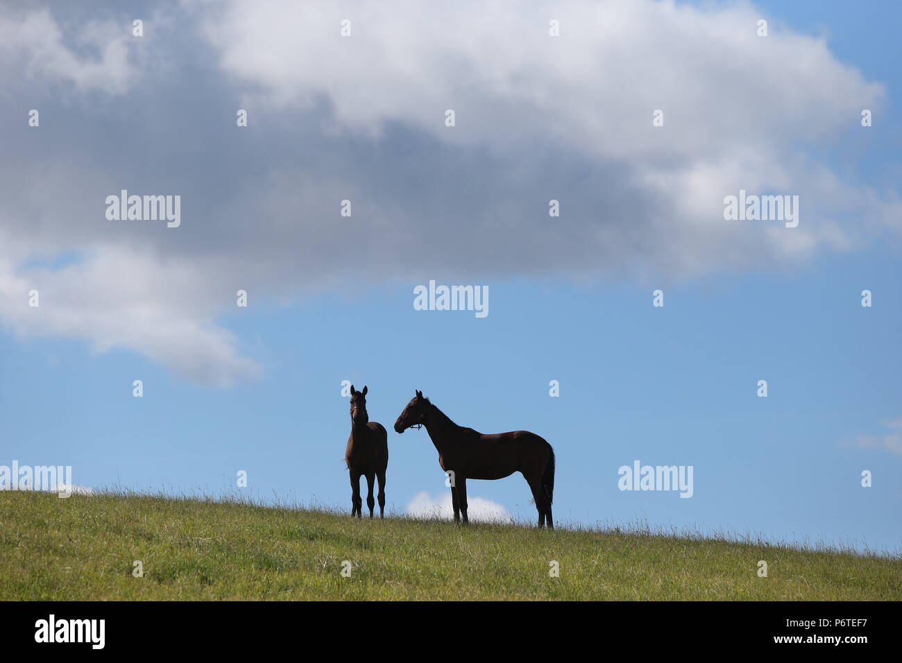 Studied Goerlsdorf, horses are standing in a pasture - Stock Image