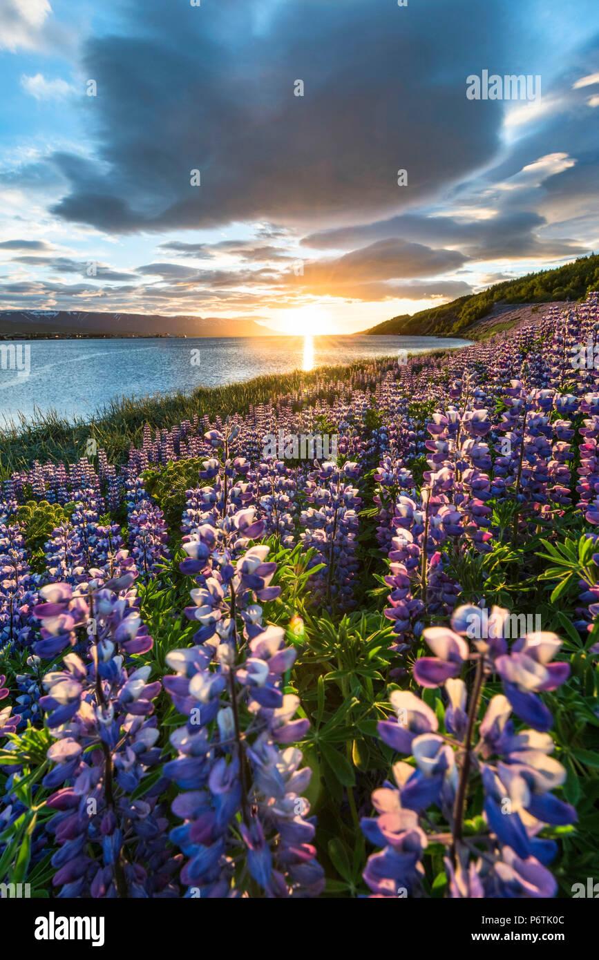 Akureyri, Northern Iceland. Fields of lupins and midnight sun. - Stock Image