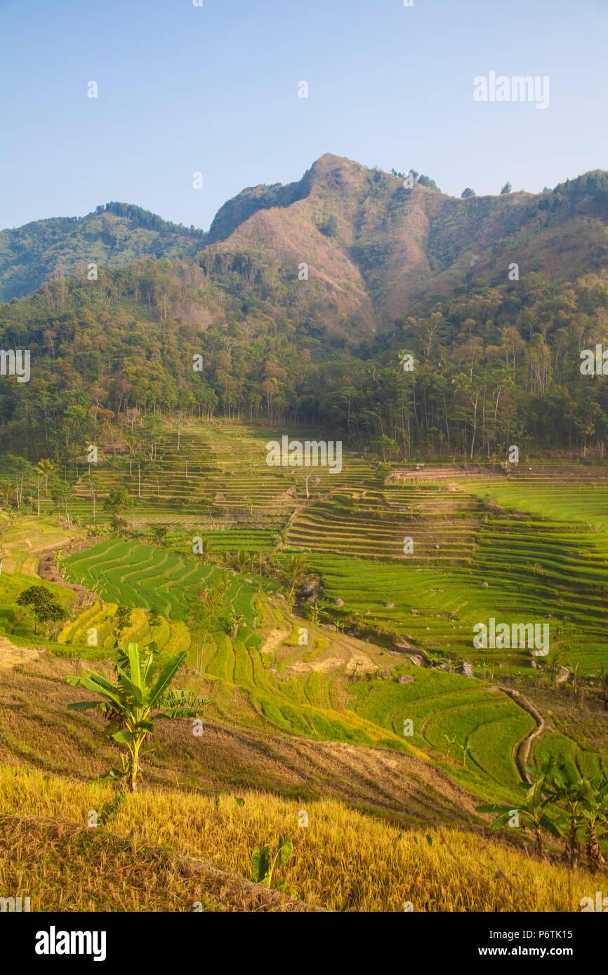 Indonesia, Java, Magelang, Rice paddies near Borobudur - Stock Image