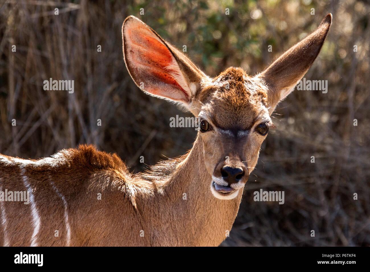 Baby Kudu - Tragelaphus strepsiceros - in the Namibian bush. - Stock Image