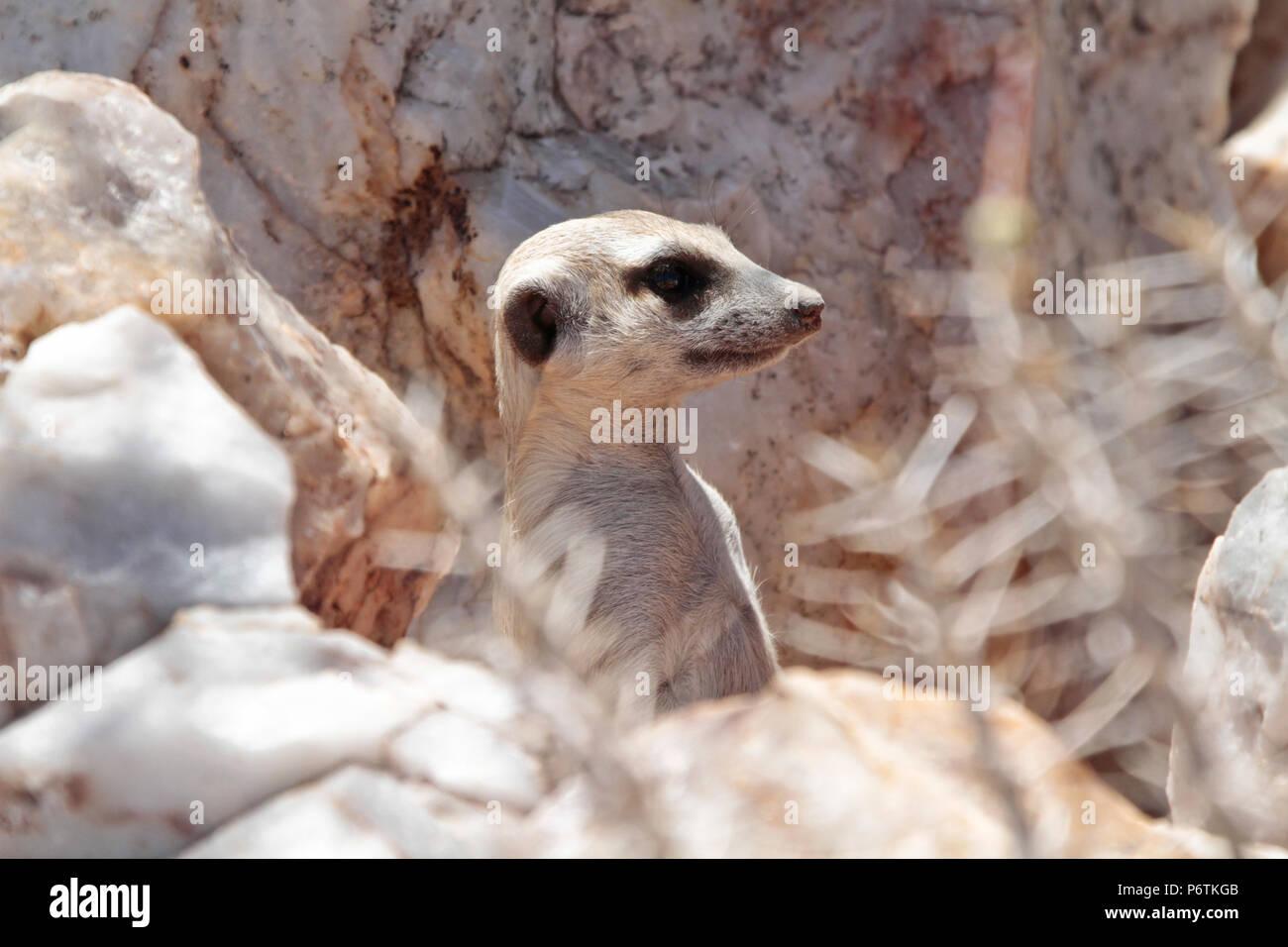 Meerkat or Suricat - Suricata suricatta - head showing, alert, from behind while quartz rocks. Kalahari Namibia - Stock Image