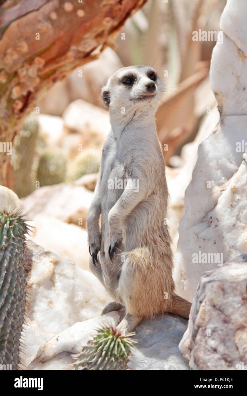 Meerkat or Suricat - Suricata suricatta - sitting up alert surrounded by white quartz rock.  Kalahari Namibia. Portrait shot - Stock Image