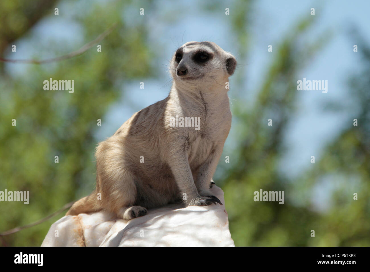 Meerkat or Suricat - Suricata suricatta -  crouched on white, quartz rock, looking around. Kalahari Namibia Stock Photo