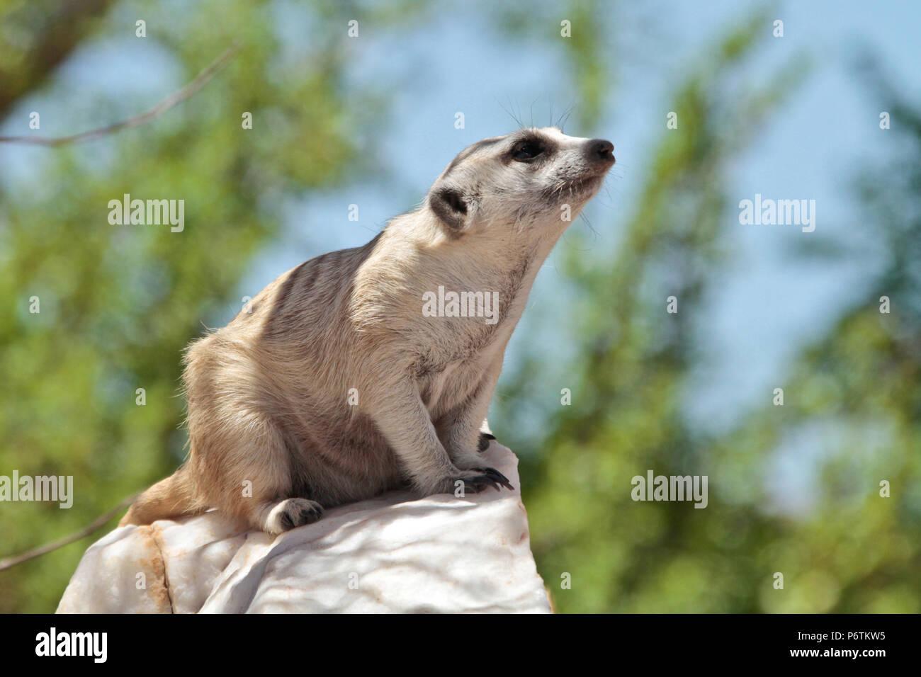 Meerkat or Suricat - Suricata suricatta -  crouched on white, quartz rock, looking around. Kalahari Namibia - Stock Image