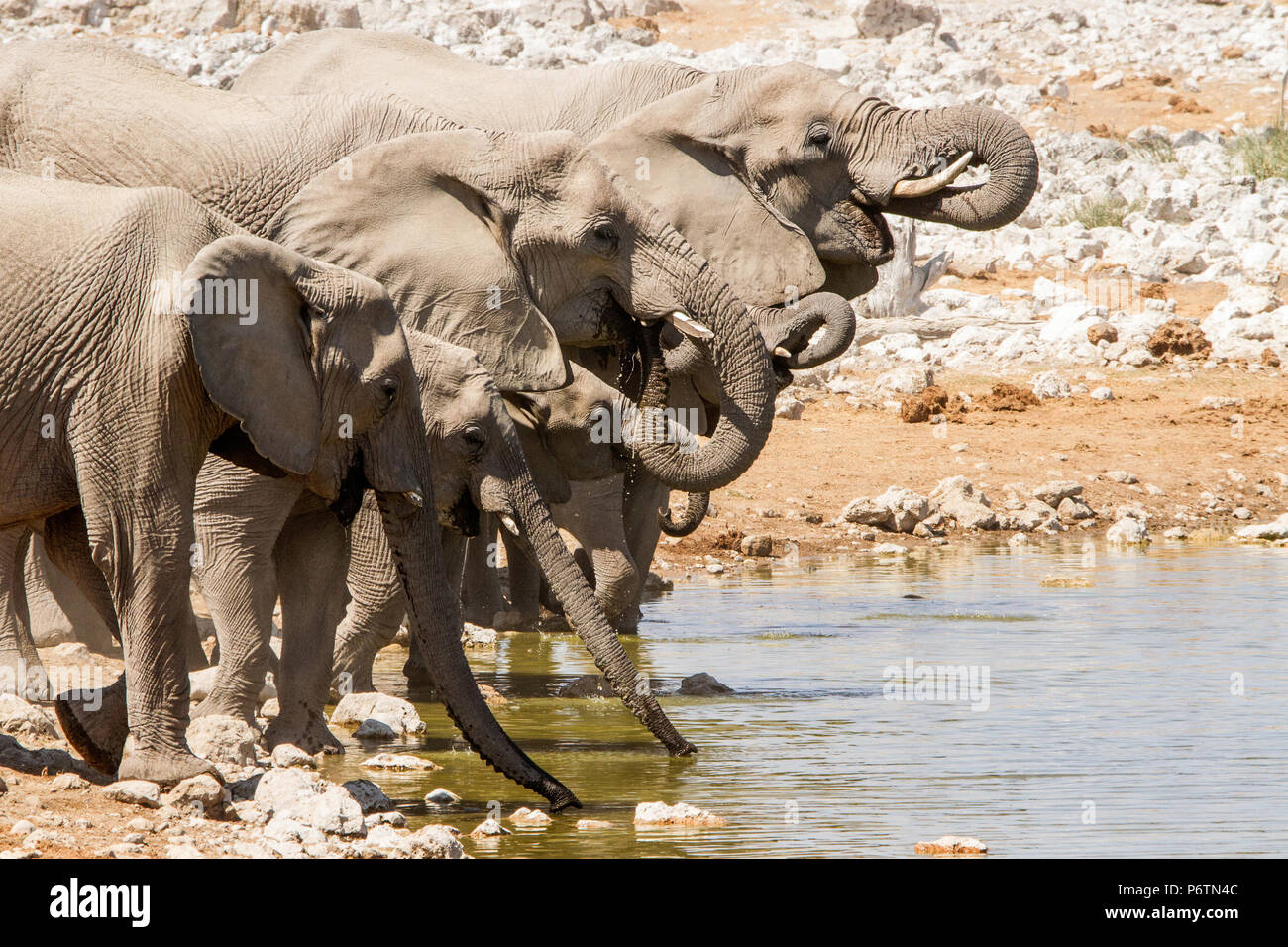 A group of African Elephants - Loxodonta - trunks out and curled, drinking at Okaukeujo waterhole in Etosha. - Stock Image