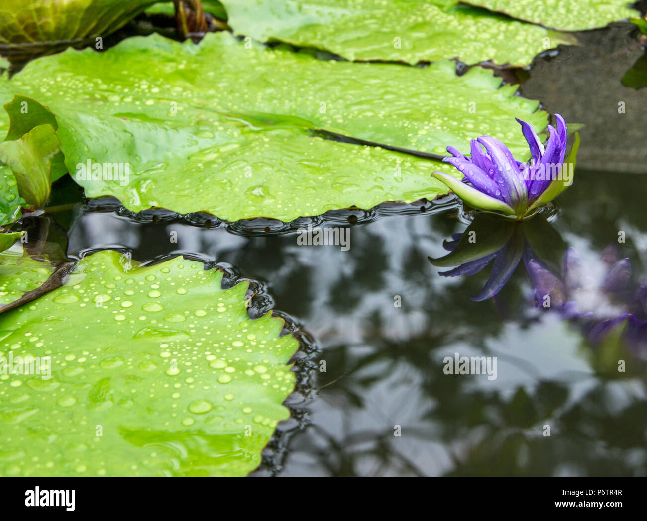 Lotus flower in pond waterlilly blossom in garden raindrops on lotus flower in pond waterlilly blossom in garden raindrops on leaves natural background izmirmasajfo